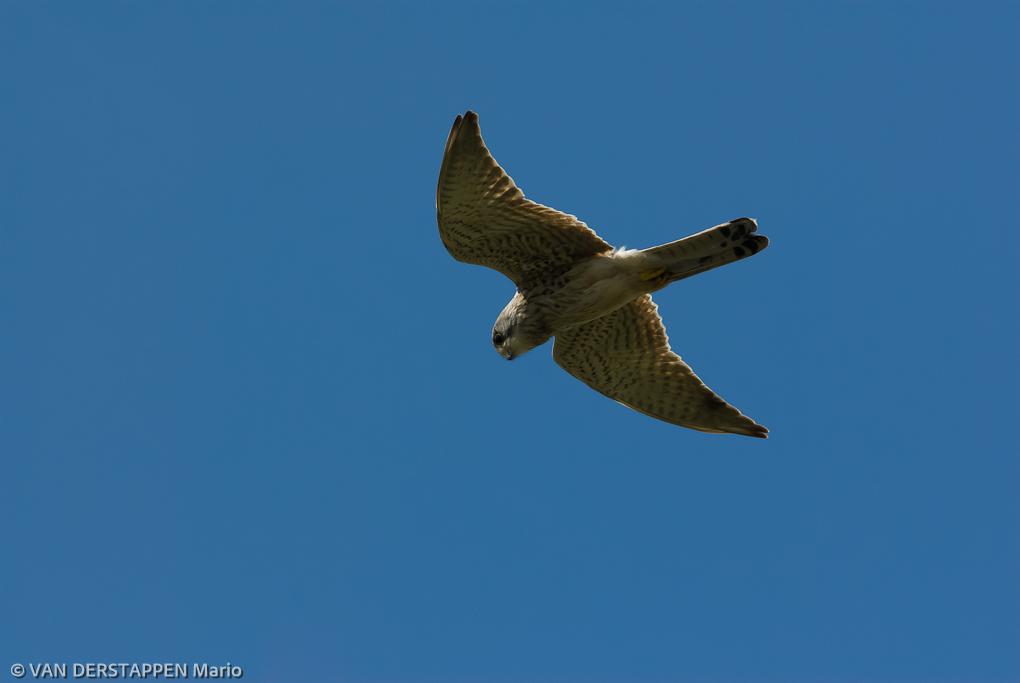 Torenvalk / Falco tinnunculus