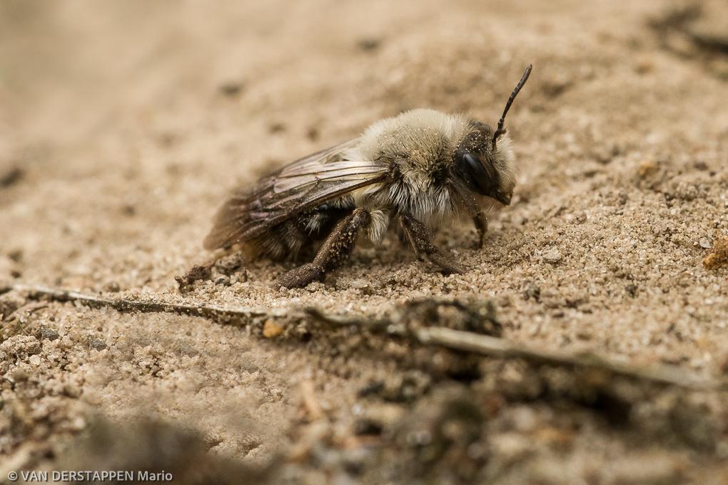 Grijze zandbij / Andrena vaga