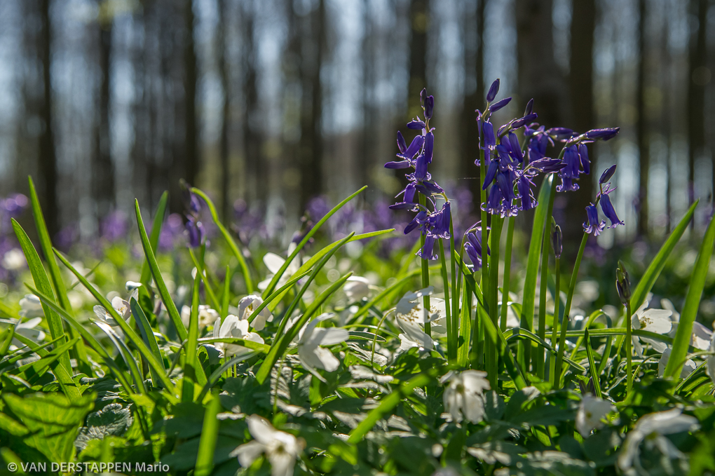 Wilde hyacint / Hyacinthoides non-scripta